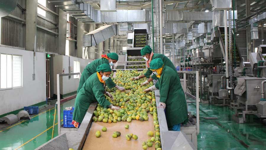 PRAN starts mango collection